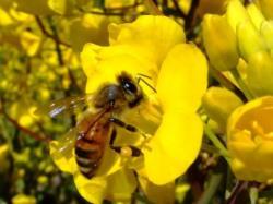 菜の花にきたミツバチ 前肢で顔をこすってます。